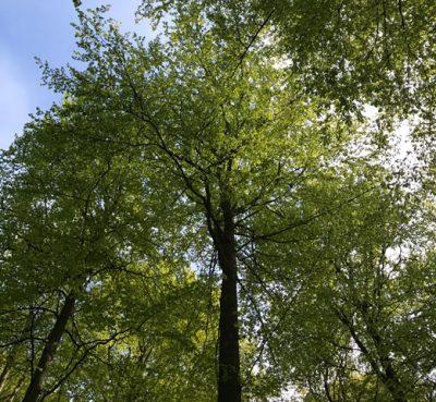 Trädkrona underifrån