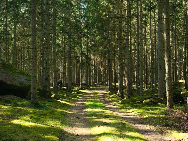 Bred skogsstig på Balsberget